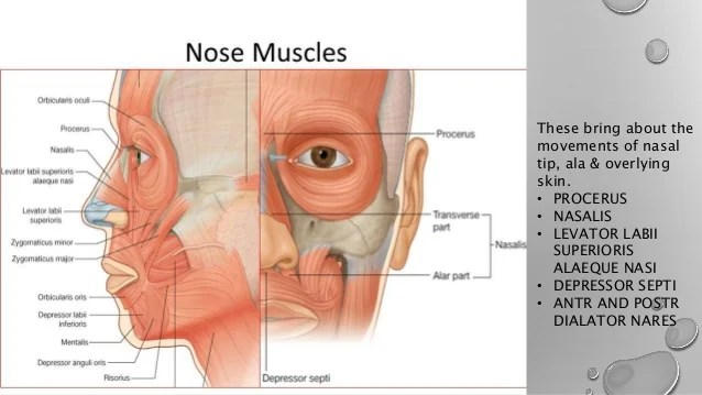 throat anatomy diagram elk vitals and physiology of ear nose newer investigation vestibule 22