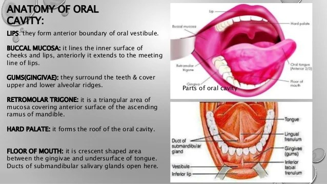 Diagram Of The Inner Mouth - DIY Enthusiasts Wiring Diagrams •
