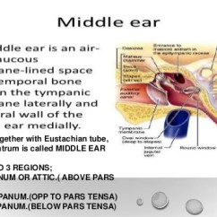 Ear Nose And Throat Diagram 2001 Dodge Durango Wiring Anatomy Physiology Of Newer Investigation 7