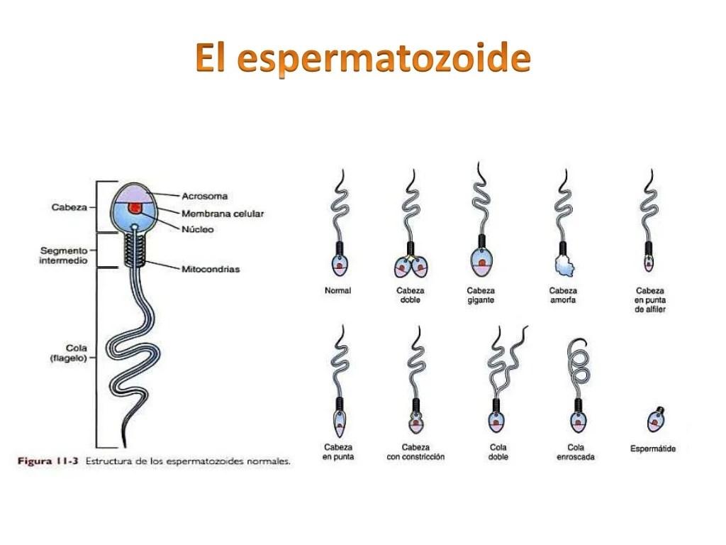 Espermatobioscopia: Analisis funcional del semen