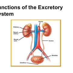 Excretory System Diagram Labeled Franklin Electric 1081 Pool Motor Wiring Notes