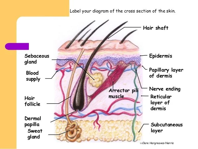 dermis layer diagram ford ef falcon radio wiring facial skin structure 7