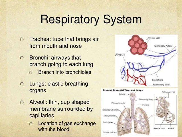 fetal pig nervous system diagram single phase motor starters wiring diagrams dissection cardiovascular respiratory digestive reproductive excretory 13