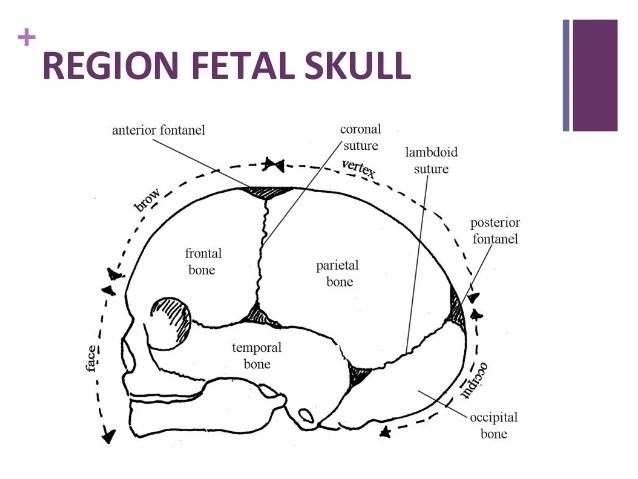 skull diagram unlabeled 2002 chevy suburban stereo wiring a free for you fetal www pixshark com images galleries with bite skeleton labeled