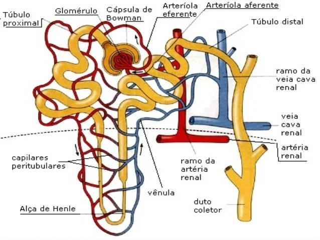 Fisiologia renal modificado