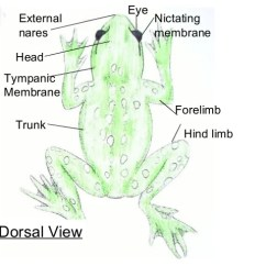 Frog Head Diagram Labeled Wiring 1993 Chevy Truck Mouth Online Dorsal View Diagrams Lose Anatomy Great