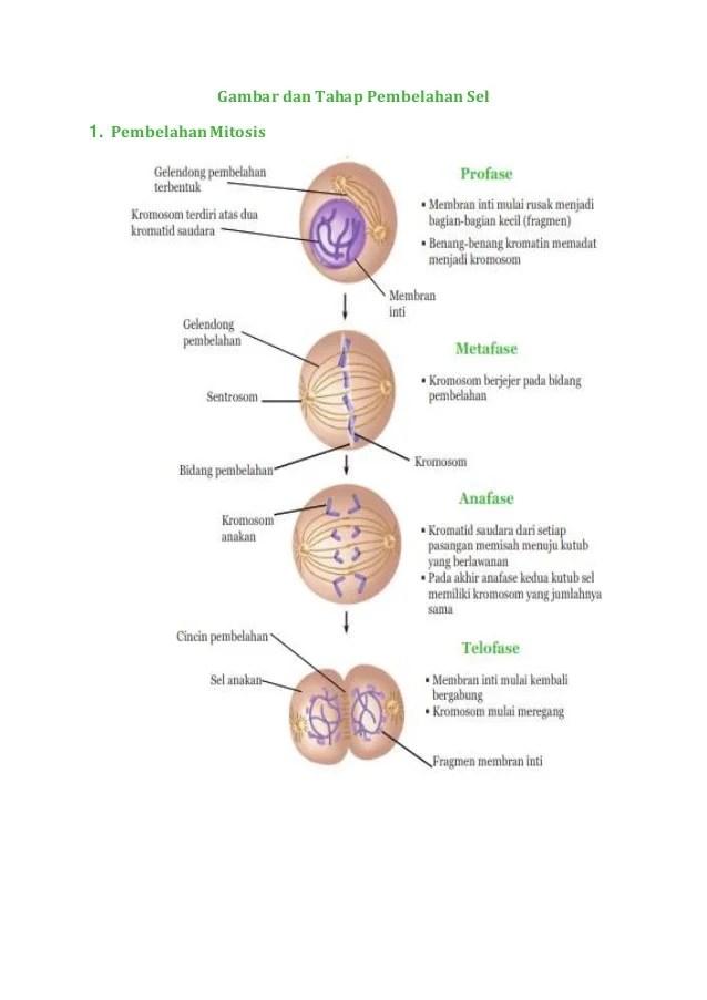 Tahap Tahap Pembelahan Mitosis : tahap, pembelahan, mitosis, Gambar, Tahap, Pembelahan