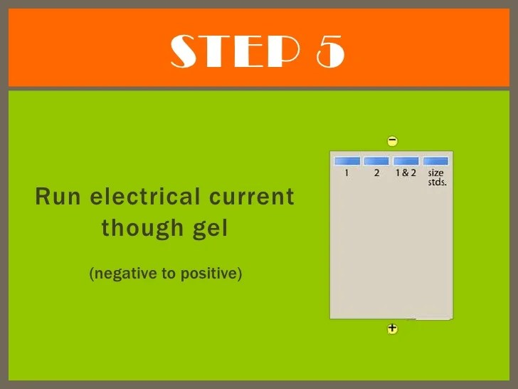 Gel Electrophoresis Uses An Electric Field And Positive And Negative