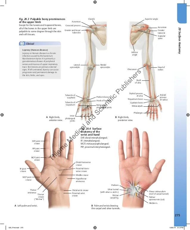 Famous Surface Anatomy Of The Hand Illustration - Anatomy And ...