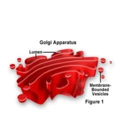 Golgi Apparatus Structure Diagram Dayton Heater Wiring Ppt