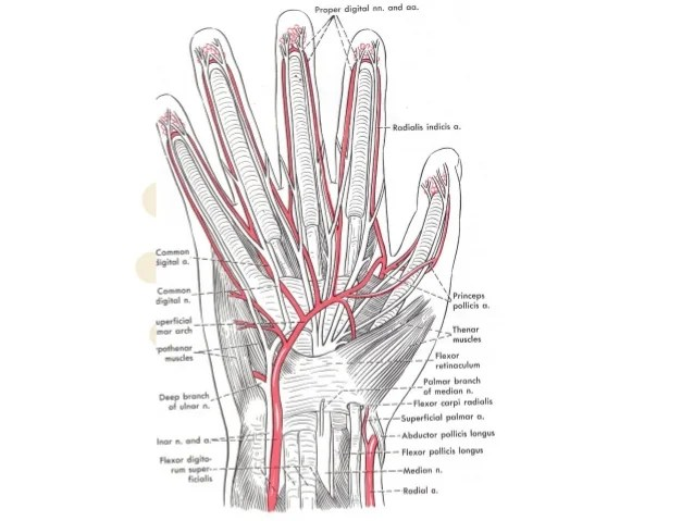 hand nerves diagram of large intestine and colon anatomy adductor pollicis 13 median nerve