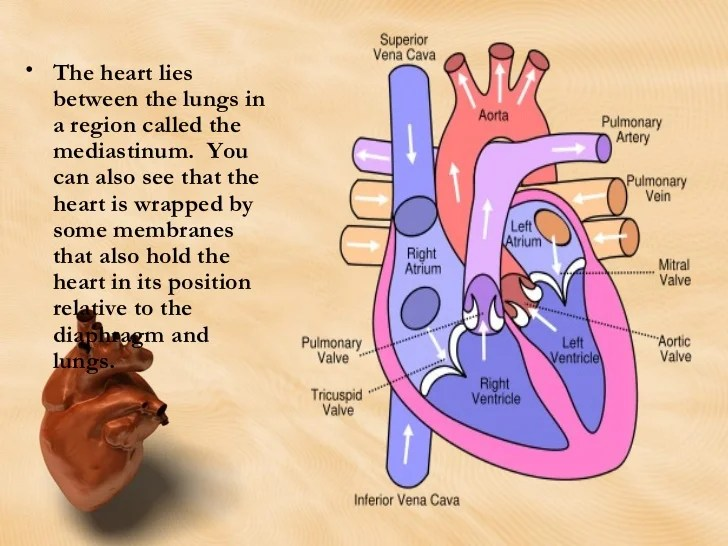 Heart Anatomy And Physiologyreview