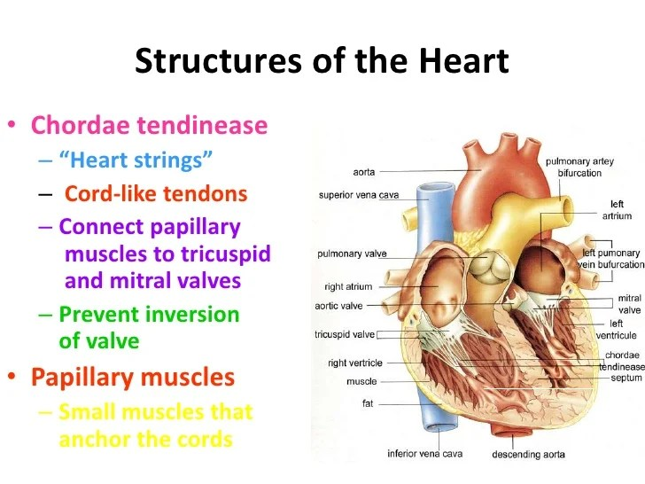 Heart Circulation Review