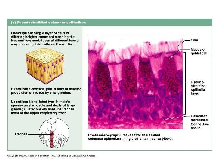 Endocrine Glands Secrete Mucus