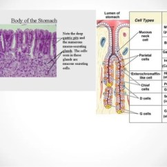 Cardiac Muscle Tissue Diagram Labeled Wye Delta Motor Starter Wiring Histology Of Gastrointestinal Tract
