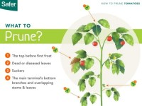 Types Of Patio Tomatoes. Growing Tomatoes Bonnie Plants ...