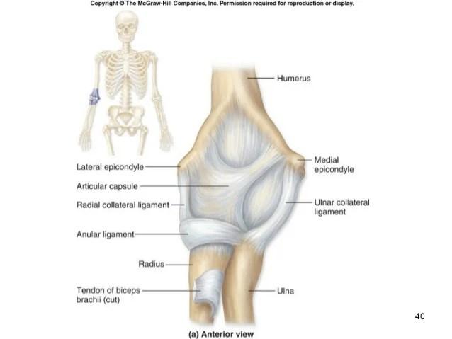 Human anatomy articulations