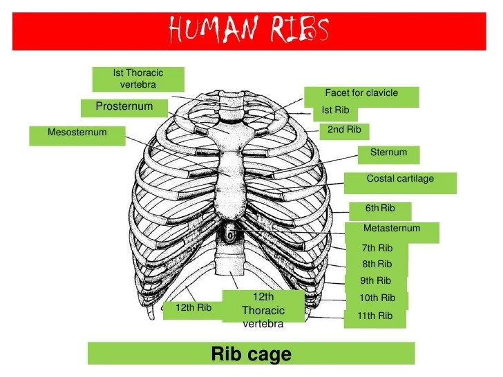 rib numbers diagram 2000 honda accord car stereo wiring human skeletal system br 26