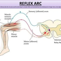 Diagram Of A Simple Reflex Arc Color Coded Wiring Diagrams