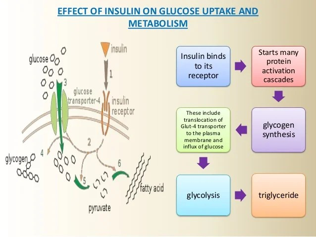 Effect of insulin also and its mechanism action rh slideshare