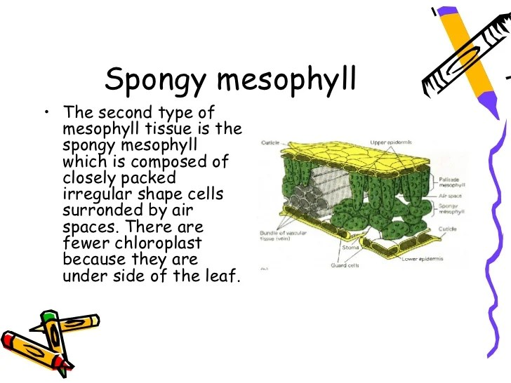 mesophyll cell diagram sub zero 532 parts spongy traffic club internal structure of a leaf