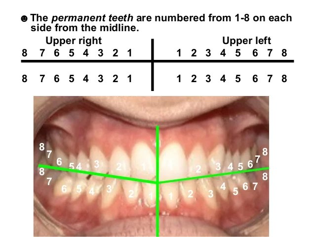Permanent And Deciduous Teeth Side By Side