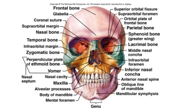 human mandible diagram wiring fuse symbol facial and cranial bones | tubezzz porn photos