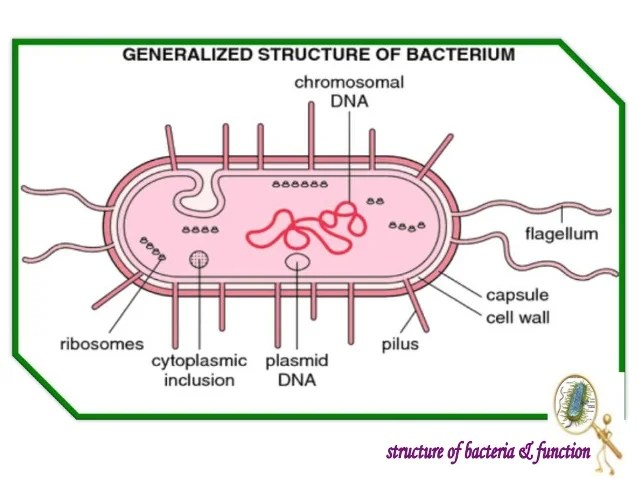 bacteria structure diagram use animal research introduction to and function shapes of