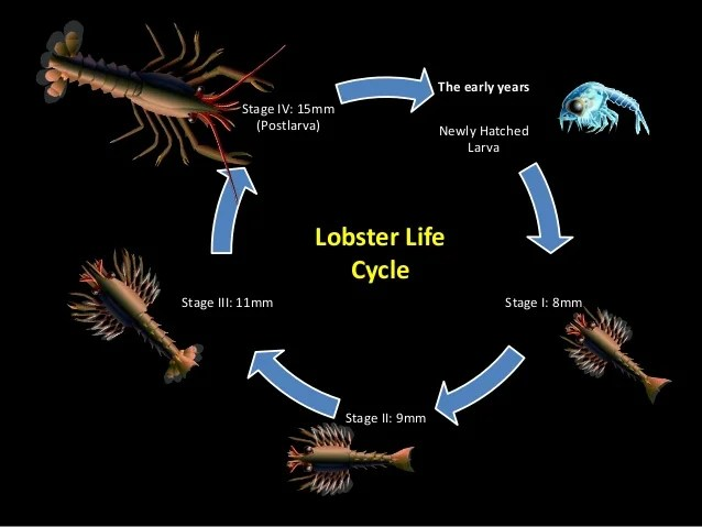 Introduction To Lobster Its Fishery