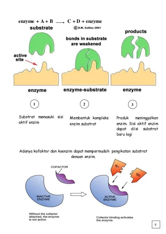 Kerja Enzim : kerja, enzim, Kerja, Enzim