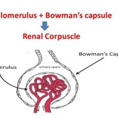 Bowman S Capsule Diagram 2001 Dodge Ram Headlight Wiring Kidney Histology Proximal Tubule 23 Glomerulus