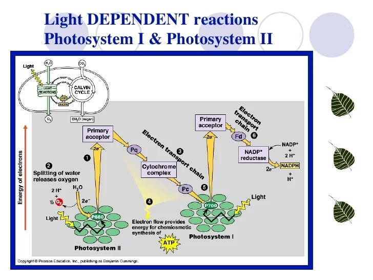 light reactions photosystem diagram 1979 corvette starter wiring lab 4 photosynthesis interaction of with chloroplasts 14 dependent i