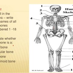 The Human Skeleton Diagram Fill In Blanks 1999 Ford Escort Wiring Lecture 6 Bones Joints Muscle Heart 9 Task 1