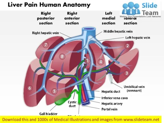 Human Liver Anatomy Ppt Periodic Diagrams Science