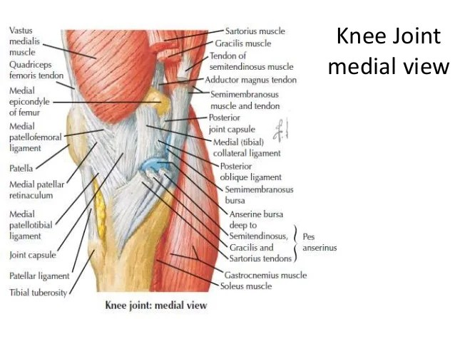 medial lower leg muscles diagram pressure switch wiring square d limb anatomylect 2 knee axial view