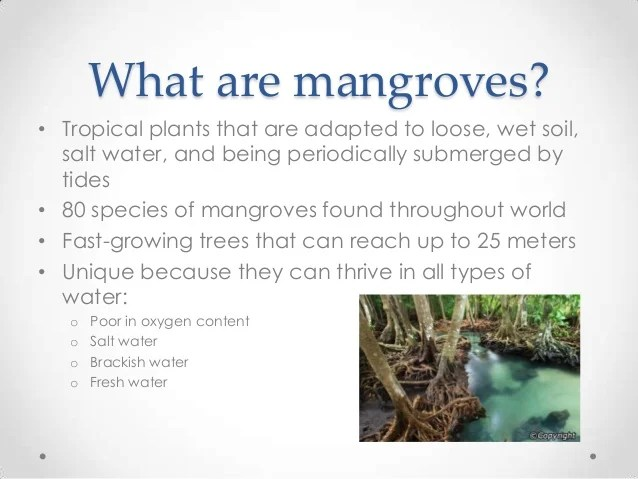 the relevance of mangroves in climate And while mangroves cover only 01% of earth's land surface, they are one of our most powerful tools in the fight against climate change, storing more carbon per hectare than any other type of forest.
