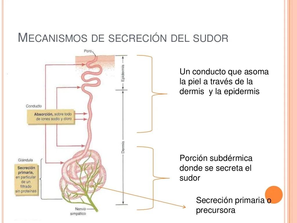 Mecanismos de secreción del sudor