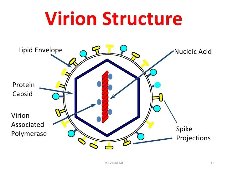 basic virus diagram strong winds medical virology introduction viral core 11 12 virion structure