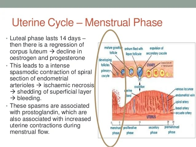 Ovarian And Endometrial Cycle Flow Chart