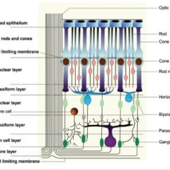 4 H Pig Diagram 2001 Ford Taurus Parts Microscopic Structure Of Retina Dr Paresh Varsat