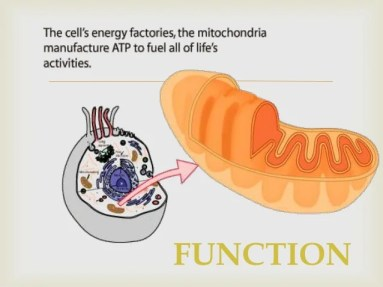 The function of the mitochondria is to produce energy