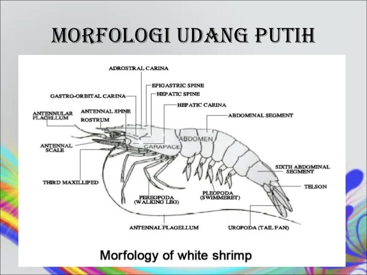 Learn about the organs and body parts. Morfologi udang 021012