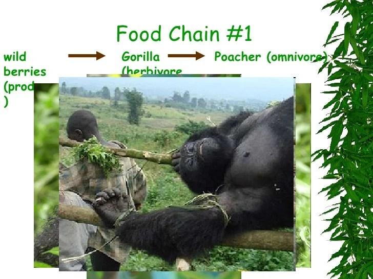 african elephant food chain diagram blank plant and animal cell venn mountain gorilla chains