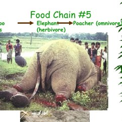 African Elephant Food Chain Diagram Cnc Breakout Board Wiring Mountain Gorilla Chains