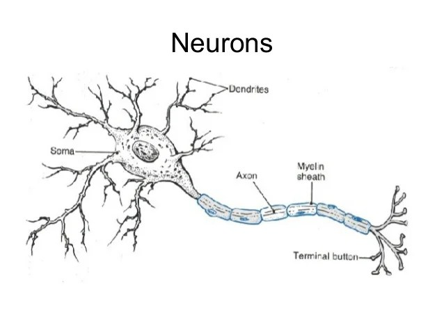 spinal cord and nerves diagram typical refinery process muscle nervous tissue