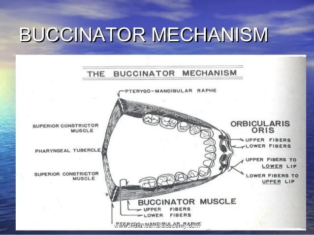 BUCCINATOR MECHANISM PDF