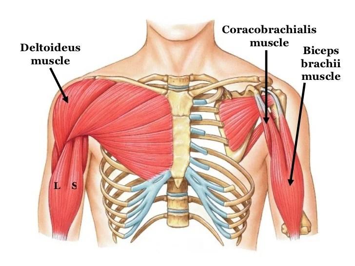 Rectus Abdominis Muscles Diagram