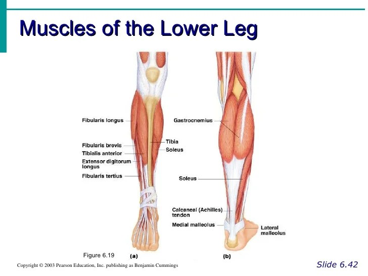 The Right Of Of The Arm Muscles Diagram