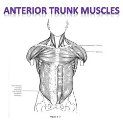Blank Muscle Diagram To Label Swm 8 Way Splitter Muscular Anatomy Labeling Packet Trapezius Shoulder Elevation Neck Extension 13