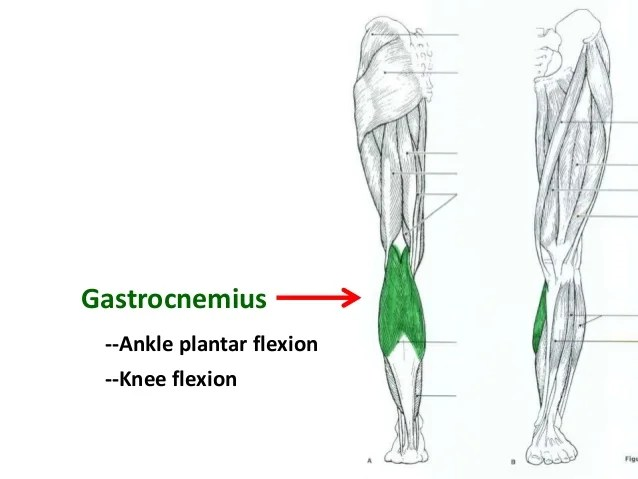 Diagram Of Gastrocnemius